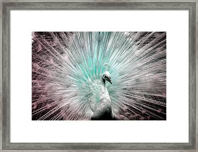 Leucistic White Peacock Framed Print