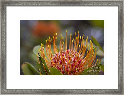 Leucospermum Pincushion Protea - Tropical Sunburst Framed Print by Sharon Mau