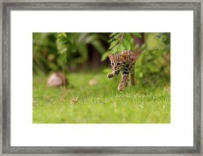 Levitating Leopard Cat Framed Print