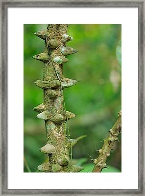 Liana, Malaysia Framed Print