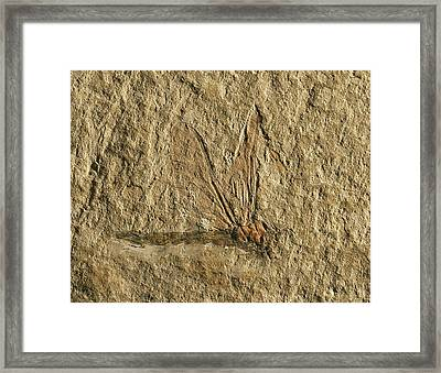 Libelluloidea Dragonfly Fossil Framed Print by Gilles Mermet