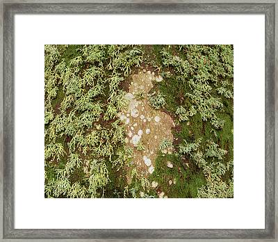 Lichen And Moss On Beech Tree Framed Print by Simon Fraser/science Photo Library