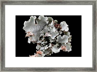 Lichen (canomaculina Sp.) Framed Print by Us Geological Survey