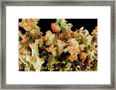Lichen (cladonia Sp.) Framed Print by Us Geological Survey