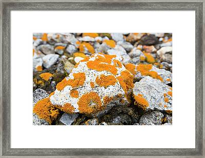 Lichen Covered Pebbles On A Raised Beach Framed Print
