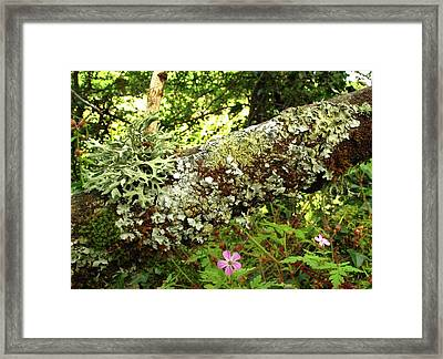 Lichen Growing On Branch Framed Print by Cordelia Molloy