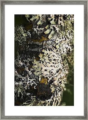 Lichen Grows On Trees_ Astoria, Oregon Framed Print by Robert L. Potts