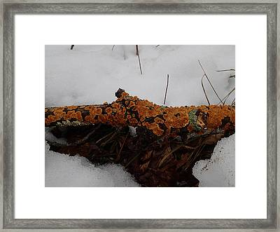 Lichen N'snow Framed Print by Robert Nickologianis
