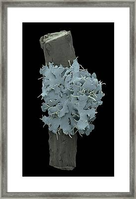 Lichen With Cyanobacteria Framed Print by Karl Gaff