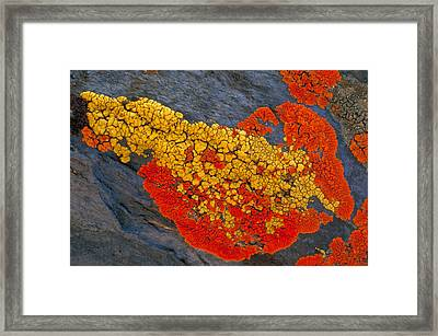 Lichens On A Rock Framed Print by Robert Lee