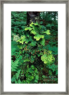 Lichens On A Tree Framed Print by Gregory G. Dimijian, M.D.