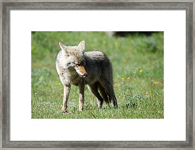 Lick His Chops Framed Print