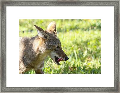 Licking His Chops Framed Print