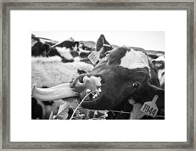 Licking The Picture Frame Framed Print