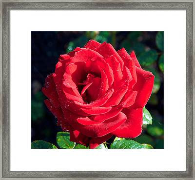 Life As A Rose Framed Print by wDm Gallery