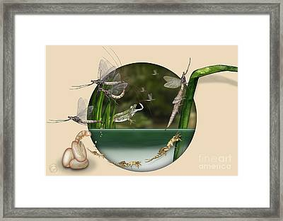 Life Cycle Of Mayfly Ephemera Danica - Mouche De Mai - Zyklus Eintagsfliege - Stock Illustration - Stock Image Framed Print