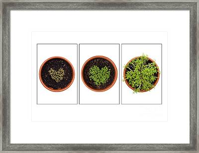 Life Of Cress On White Framed Print by Anne Gilbert