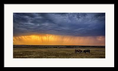 Steer Photographs Framed Prints