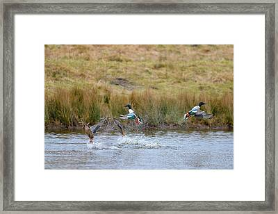Lift Off Framed Print by Randy Giesbrecht