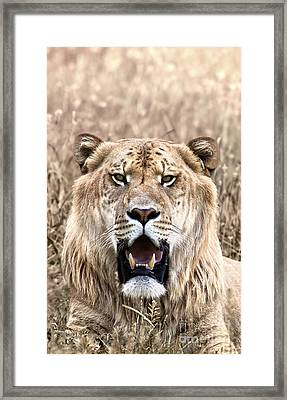 Liger Closeup Portrait In Dry Grass Framed Print by Brandon Alms