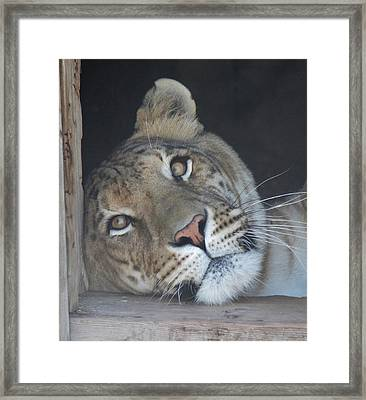 Liger Daydreaming Framed Print by Diane Alexander