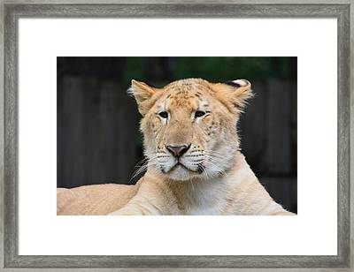 Liger Framed Print by Mike Martin