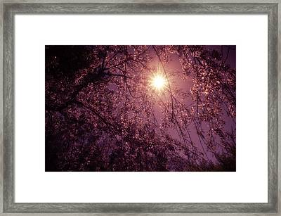 Light And Cherry Blossoms Framed Print