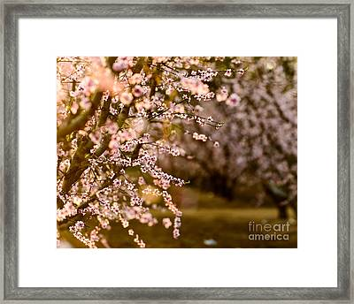 Light In The Orchard Framed Print
