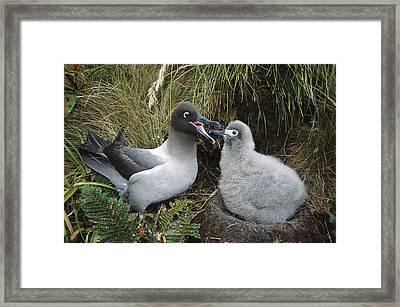 Light-mantled Albatross Feeding Chick Framed Print by Tui De Roy