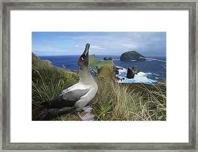 Light-mantled Albatross Sky-pointing Framed Print by Tui De Roy