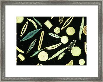 Light Micrograph Of Assorted Diatoms Framed Print by Power And Syred