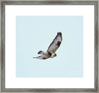Light Morph Rough-legged Hawk Framed Print by Lori Tordsen