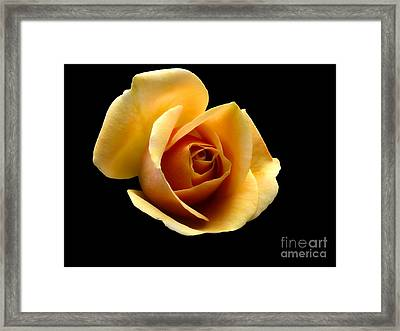 Light Orange Rose - Rosa Framed Print by Dog Photos