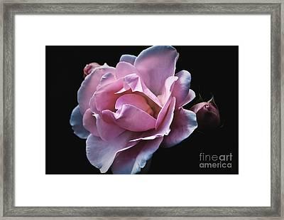 Light Pink Rose - Rosa Framed Print by Dog Photos