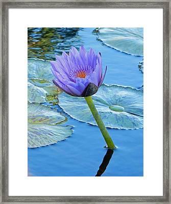 Light Purple Water Lily Framed Print by Pamela Walton