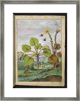Ligularia Tussilaginea Framed Print by British Library