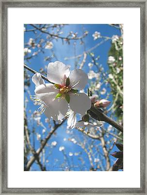 Like Stars In The Sky - Almond Blossoms Of Spring Framed Print