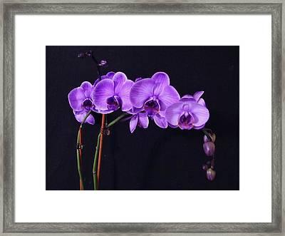 Lilac Amethyst Orchid Framed Print