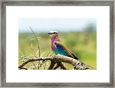 Lilac-breasted Roller (coracias Caudatus) Framed Print by Photostock-israel