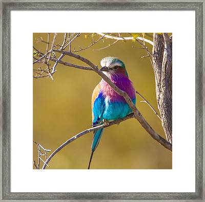 Lilac Breasted Roller Framed Print by Craig Brown