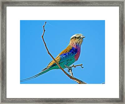 Lilac-breasted Roller In Kruger National Park-south Africa Framed Print by Ruth Hager