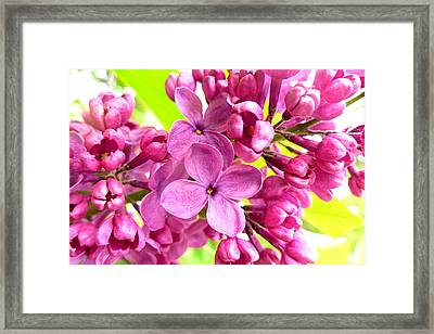 Lilac Closeup Framed Print by The Creative Minds Art and Photography