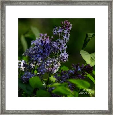 Lilac Fantasia Framed Print by Inspired Nature Photography Fine Art Photography