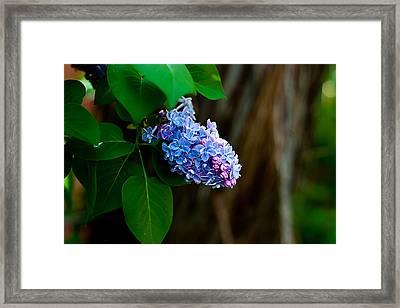 Lilac Framed Print by John Crowe