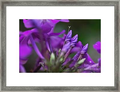 Lilac Petals And Purple Buds Framed Print by Kaye Menner