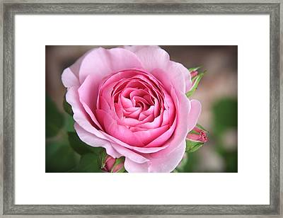 Lilac Rose Framed Print by CarolLMiller Photography