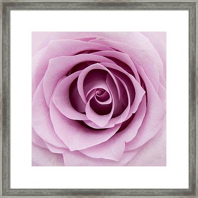 Lilac Rose Framed Print