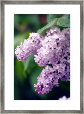Lilac (syringa Hybrid) Framed Print by Maria Mosolova/science Photo Library