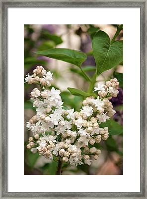 Lilac (syringa Vulgaris 'beauty Of Moscow') In Flower Framed Print by Maria Mosolova/science Photo Library