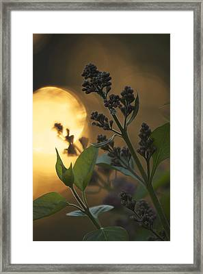 Lilacs At Sunset Framed Print by Penny Meyers
